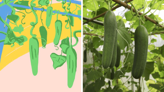 cucumber-growth