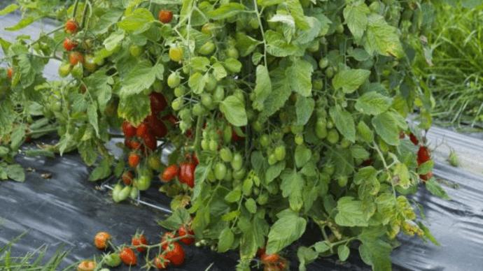 how-determinate-tomatoes