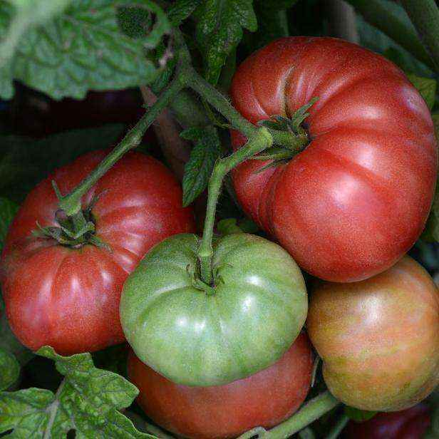 Как и зачем нужно обрезать помидоры
