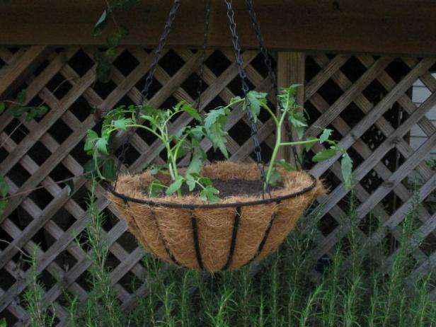 помидор растущий в кашпо