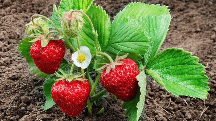 plant-strawberries